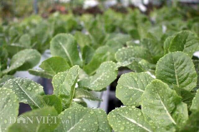 vườn rau sạch trăm triệu trên sân thượng ở TP.HCM