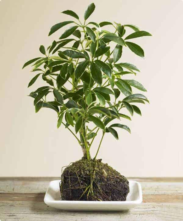 """Tóp 6 loại cây trồng trong nhà có tác dụng như """"thuốc xịt muỗi"""" tự nhiên"""