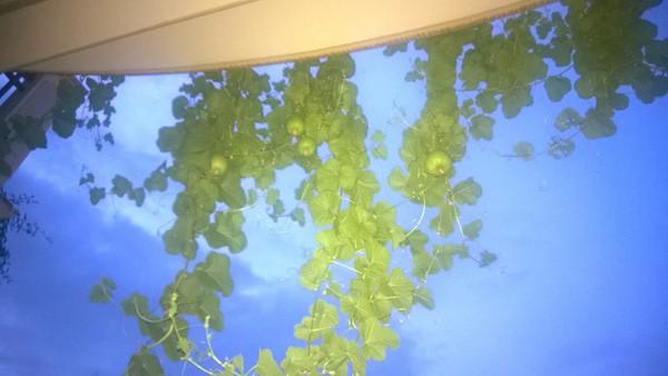 Hướng dẫn cách trồng dưa lê trên ban công nhà