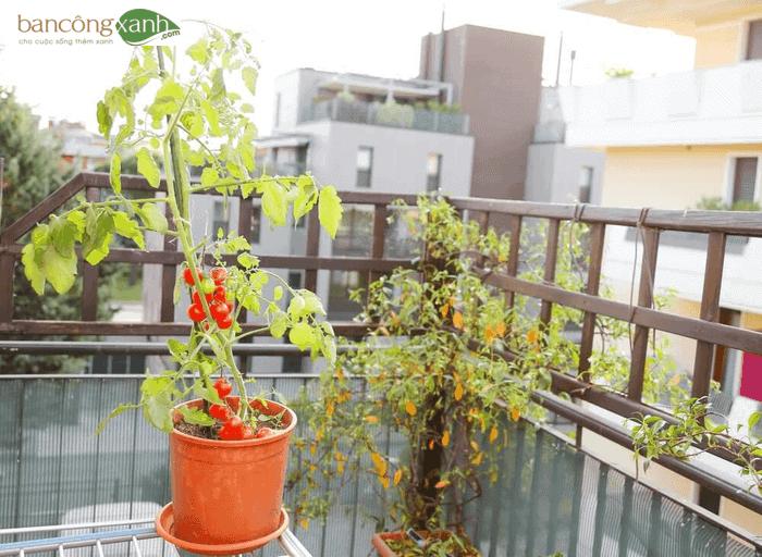 Trồng cà chua trên ban công, sân thượng