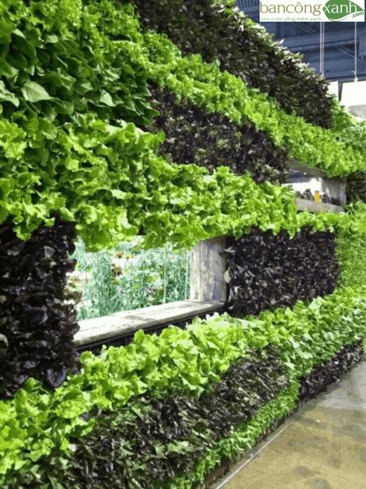 Trồng rau xà lách trên ban công sân thượng