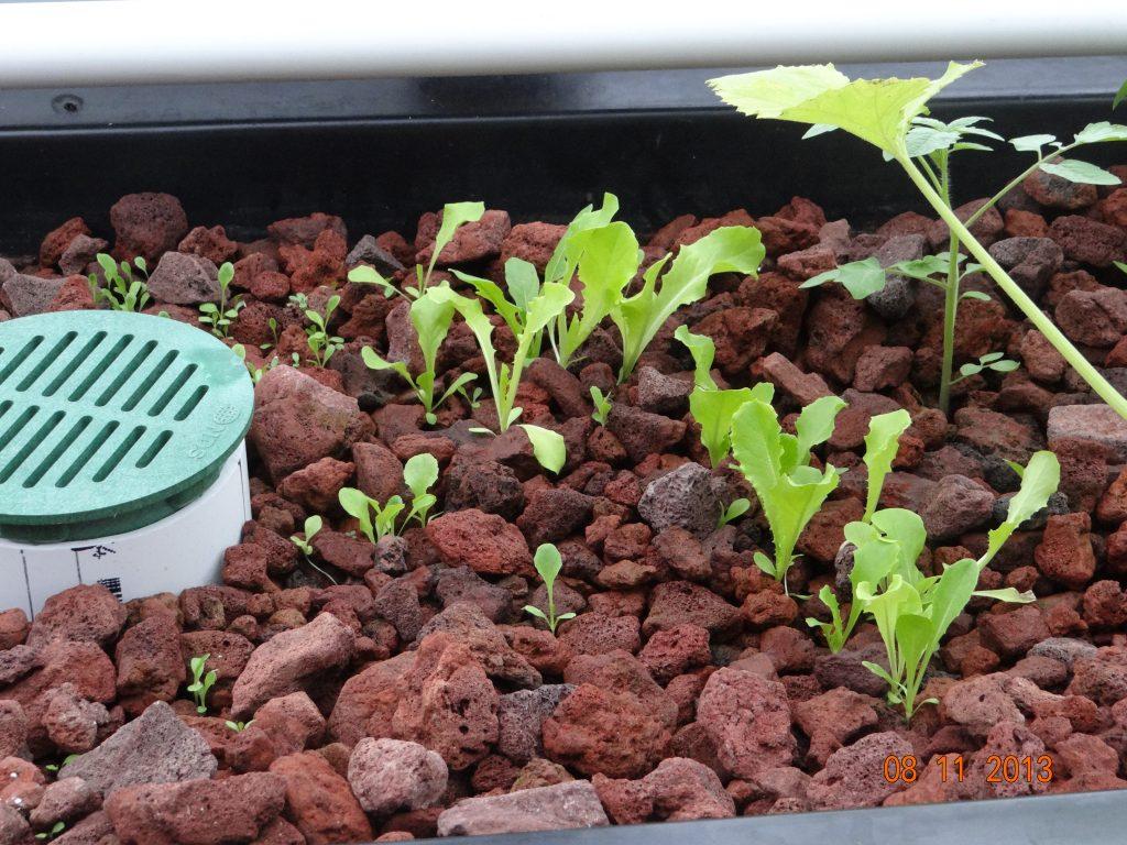 Đá núi lửa trồng rau thuỷ canh