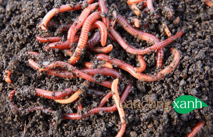 Tại sao nên sử dụng dịch trùn quế, phân trùn quế