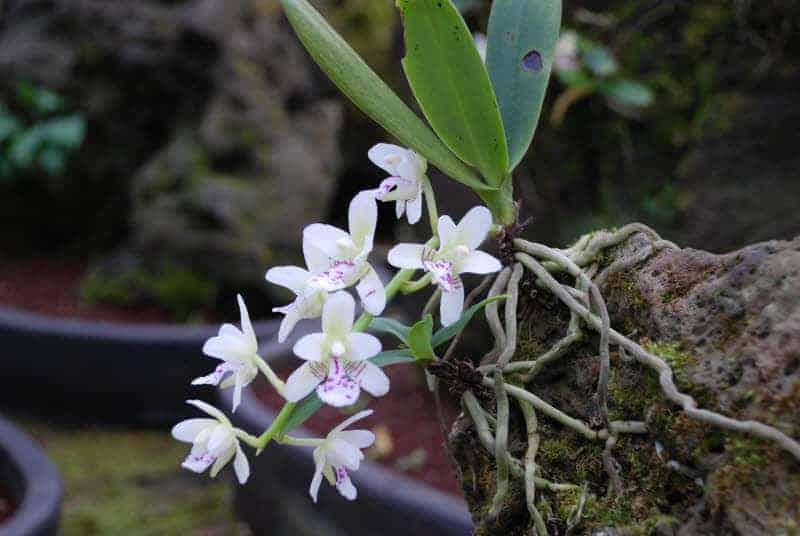 Giá thể trồng Lan từ đá núi lửa