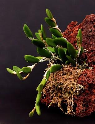 Giá thể trồng lan từ bọt đá núi lửa