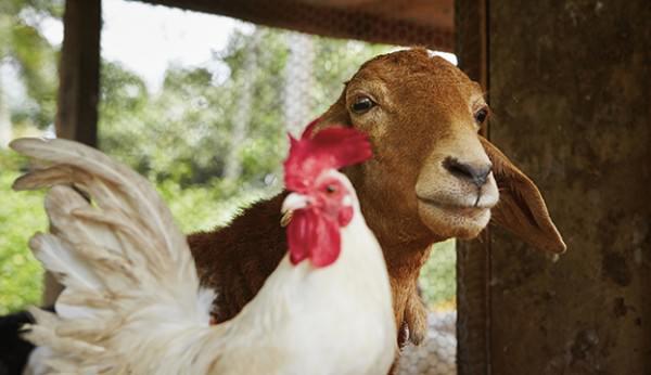 Đã bao giờ bạn nghĩ việc chăn nuôi sẽ mang đến nhiều lợi ích hơn, không đơn giản chỉ là cung cấp trứng và sữa. Chăn nuôi cung cấp phân bón, đồng thời mang lại đầy đủ dinh dưỡng cho cây trồng.