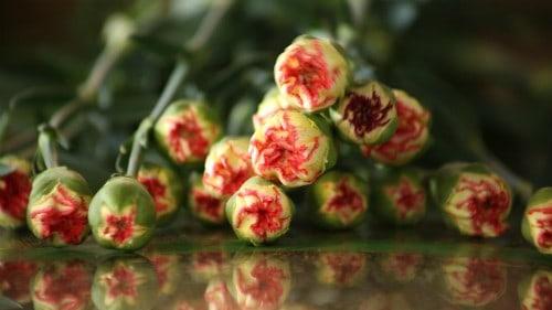 Kỹ thuật trồng hoa cẩm chướng