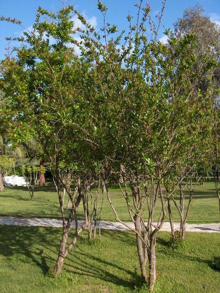 Trồng và chăm sóc cây lựu 1