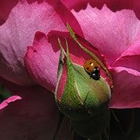 phòng chống sâu bệnh cho cây hoa hồng