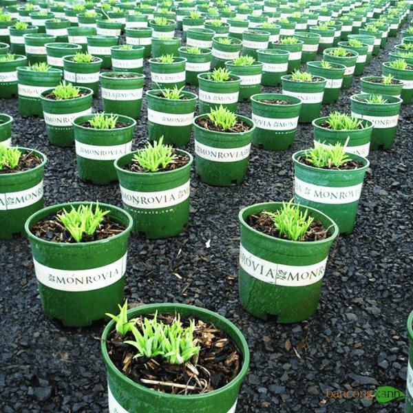 Chậu nhựa monrovia trồng cây size 5 01