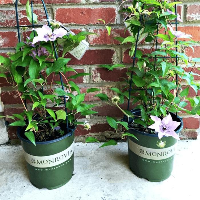 Chậu nhựa monrovia trồng cây size 5