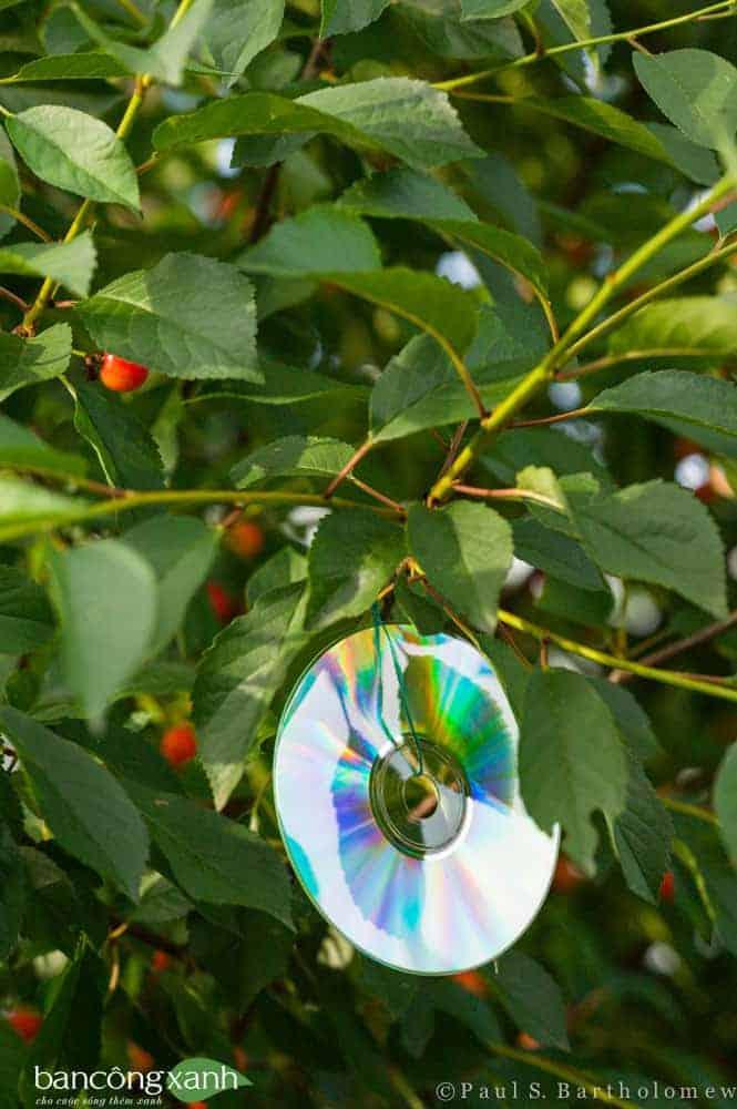 Những giàn quả chín sẽ thu hút chim sẻ và một số loài chim ăn quả tới đục trái. Một ý tưởng là sử dụng các đĩa CD bỏ đi treo quanh vườn cây. Các đĩa CD này khi có nắng chiếu vào mặt đĩa sẽ phản xạ ra tia sáng hạn chế chim bay vào vườn.