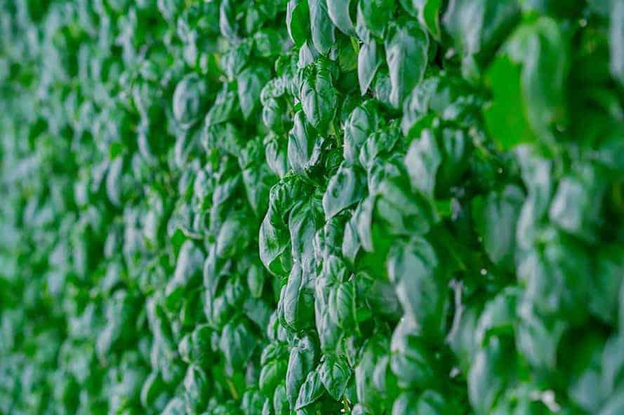 Dự án trồng rau sạch trên vườn tường Plenty