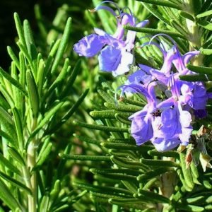 Hạt giống thảo dược cao cấp: Cây hương thảo