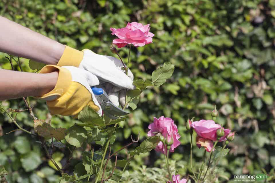 Các phương pháp và kỹ thuật nhân giống cây hoa hồng cơ bản