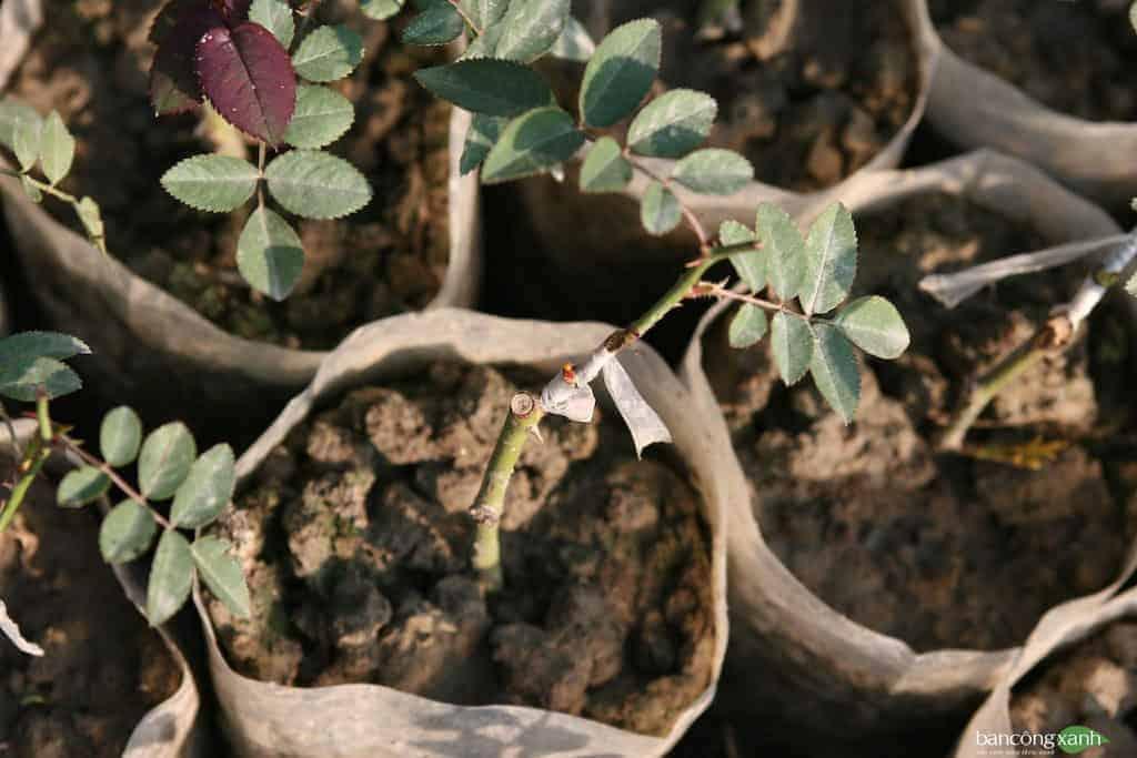 Hoa hồng là loài cây cây khá khó tính, kỹ thuật chăm sóc cũng như nhân giống cũng đòi hỏi những kỹ thuật nhất định. Dưới đây Ban công xanh chia sẻ 4 phương pháp và kỹ thuật nhân giống cây hoa hồng cơ bản hy vọng giúp ích bạn trong quá trình muốn nhân giống cây hoa hồng yêu quý nhà mình.