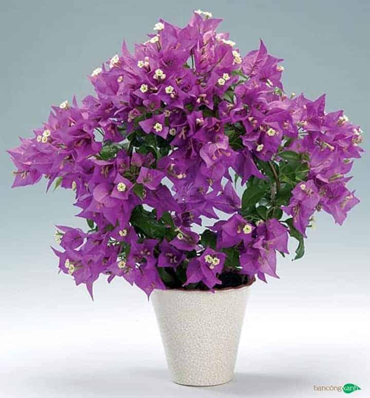 Cây hoa giấy hợp phong thuỷ cho người mệnh hoả