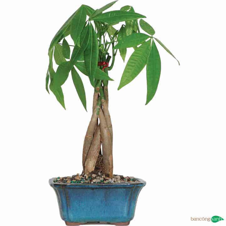 Cây kim ngân là loại cây hợp phong thuỷ mang lại nhiều may mắn cho người mệnh hoả