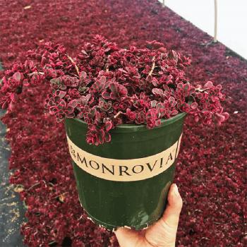 Chậu nhựa trồng cây Monrovia cao cấp size 2 -1