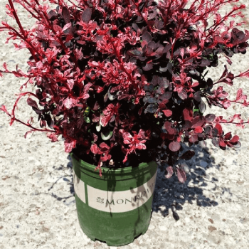 Chậu nhựa trồng cây Monrovia cao cấp size 3-2