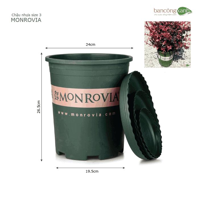 Chậu Monrovoia size 5 trồng cây cao cấp