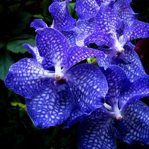 5 Giống hoa lan phổ biến giúp tô điểm khu vườn nhà bạn -Hoa Lan Vân (Vanda Orchids)