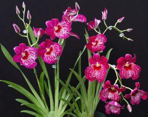 5 Giống hoa lan phổ biến giúp tô điểm khu vườn nhà bạn-Hoa lan Miltonia