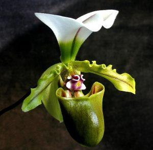5 Giống hoa lan phổ biến giúp tô điểm khu vườn nhà bạn-Lan Hài Tiên (Paphiopedilum Orchids)