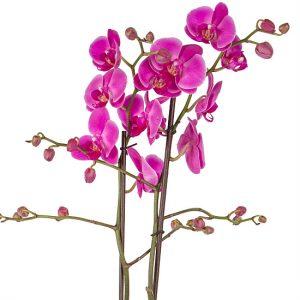 5 Giống hoa lan phổ biến giúp tô điểm khu vườn nhà bạn-Lan hồ Điệp (Phalaenopsis orchid)