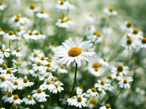 5 loại hoa quen thuộc vừa làm đẹp vườn nhà vừa có tác dụng chữa bệnh-hoa cúc