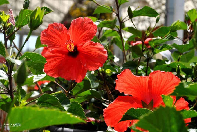 5 loại hoa quen thuộc vừa làm đẹp vườn nhà vừa có tác dụng chữa bệnh-hoa dâm bụt