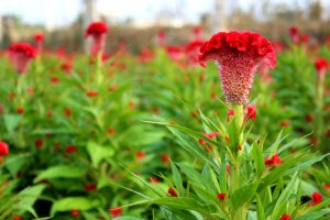 5 loại hoa quen thuộc vừa làm đẹp vườn nhà vừa có tác dụng chữa bệnh-hoa mào gà