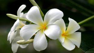 5-loại-hoa-quen-thuộc-vừa-làm-đẹp-vườn-nhà-vừa-có-tác-dụng-chữa-bệnh-hoa-sứ