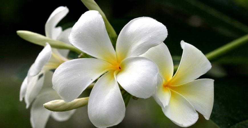 5 loại hoa quen thuộc vừa làm đẹp vườn nhà vừa có tác dụng chữa bệnh-hoa sứ