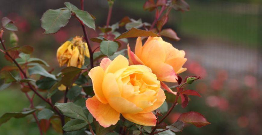 Hướng dẫn chọn chậu trồng hoa hồng leo, cách trồng hoa hồng leo trong chậu