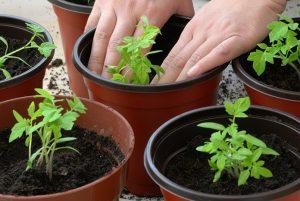 Hướng dẫn trồng và chăm sóc cà chua trên ban công -1