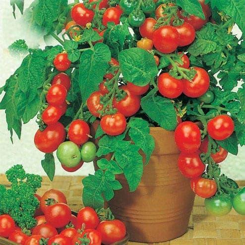 Hướng dẫn trồng và chăm sóc cà chua trên ban công