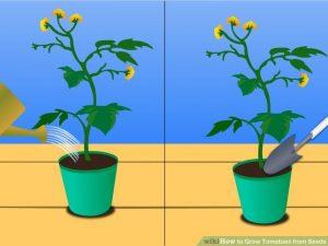Hướng dẫn trồng và chăm sóc cà chua trên ban công -3