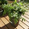 Hạt giống cà chua Florida-cà chua trồng trong chậu