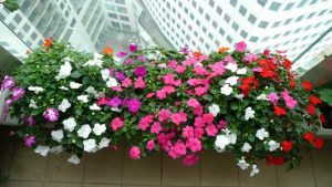 Những loại hoa thích hợp trồng trên ban công nhà cho ban công đẹp mê ly-hoa dừa cạn
