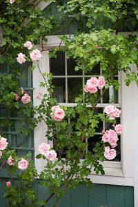 Những loại hoa thích hợp trồng trên ban công nhà cho ban công đẹp mê ly-hoa hồng leog