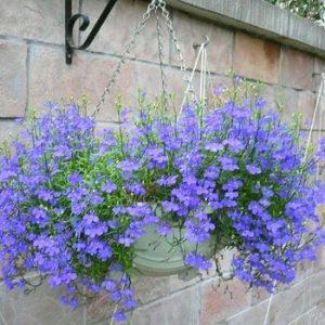 Những loại hoa thích hợp trồng trên ban công nhà cho ban công đẹp mê ly-hoa thuý điệp