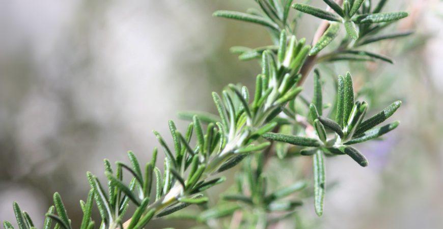 Những tác dụng tuyệt vời cho không gian sống và sức khoẻ của cây hương thảo