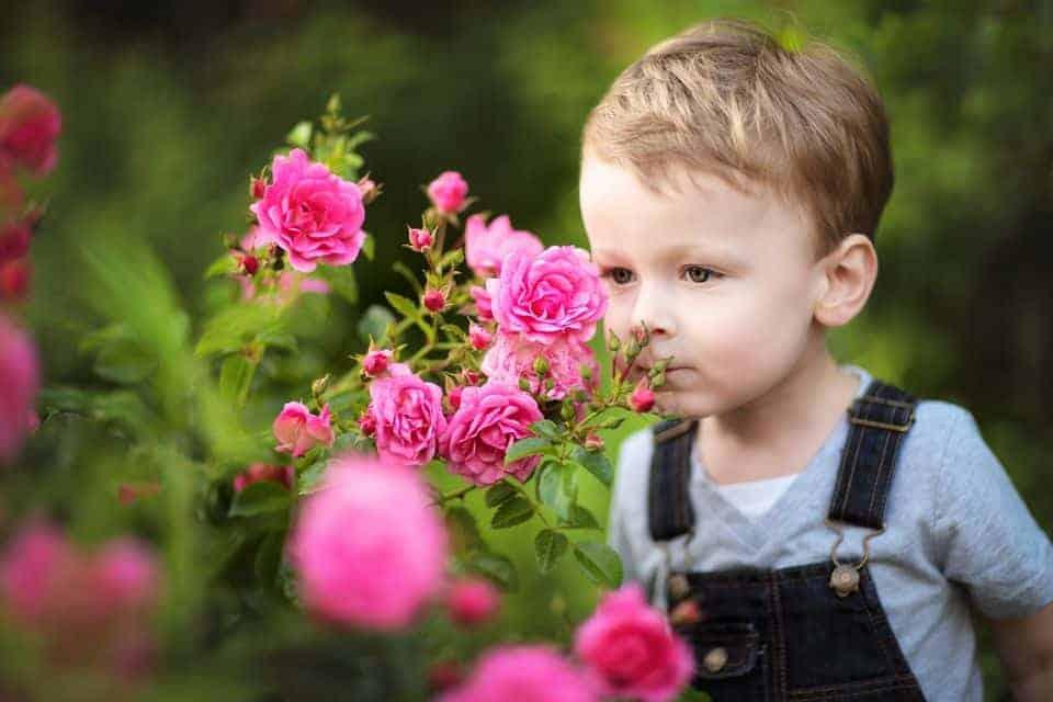 Trồng và chăm sóc hoa hồng trong điều kiện nắng nóng