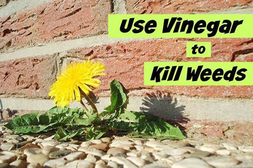 Giấm là một chất diệt cỏ hữu cơ tự chế