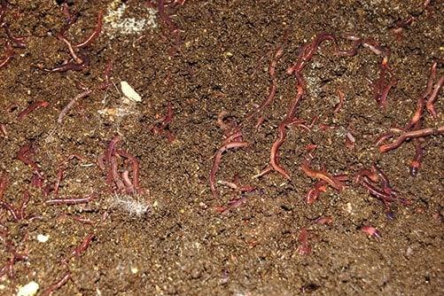 Thêm giun đất vào đống phân giúp đẩy nhanh quá trình phân hủy phân