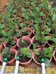 Dây tưới nhỏ giọt GreenDrip cho vườn hoa đồng tiền