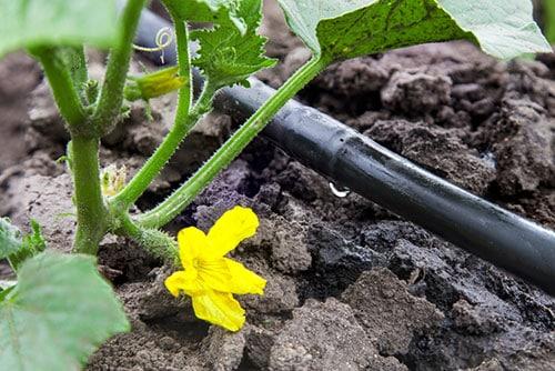 Tưới nhỏ giọt cho nông nghiệp hiện đại