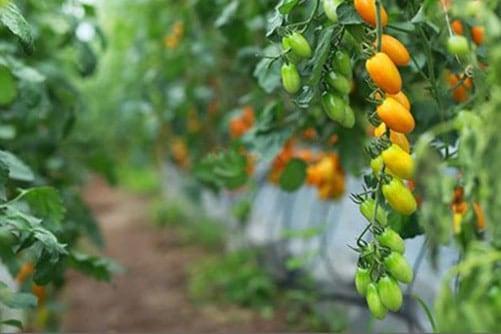 Cà chua trồng theo phương pháp mới