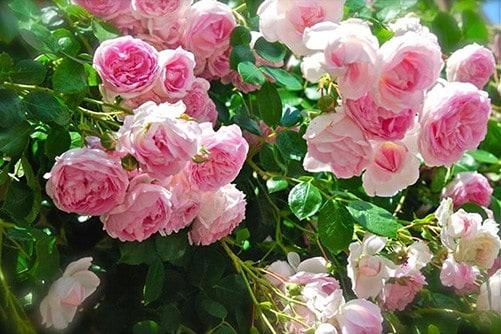 Kĩ thuật trồng hoa hồng leo